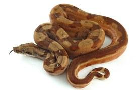 Le python fournit un cuir de qualité