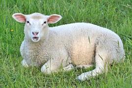 Mouton pour le cuir